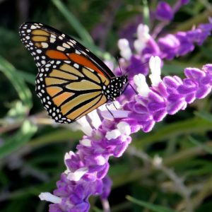 The Monarch butterfly is a universal symbol of resurrection of the spirit